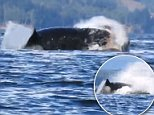A kayaker caught the moment when a killer whale broke through the water to attack a sea lion
