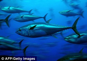 Bluefin tuna can live up to 30 years in the Atlantic