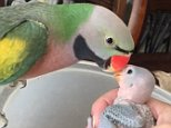This is the sweet moment a mama parrot is heard telling her babies she loves them