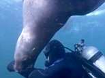 This is the moment a sea lion tried to take chunks out of diver Peter Falk's arm near Hornby Island, Canada