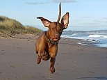 Up, pup and away! Zander, a Hungarian Vizsla, has built up a huge following of fans on social media, with people from all over the world enjoying pictures of him flying through the air