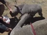 The baby rhino can be seen trying to charge at the par as they attempt to treat the mother's bad foot
