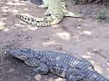 A drunken tourist who jumped into a crocodile pool after downing drinks with his pals had an arm ripped off and his head torn from side to side in another crocodile's jaws
