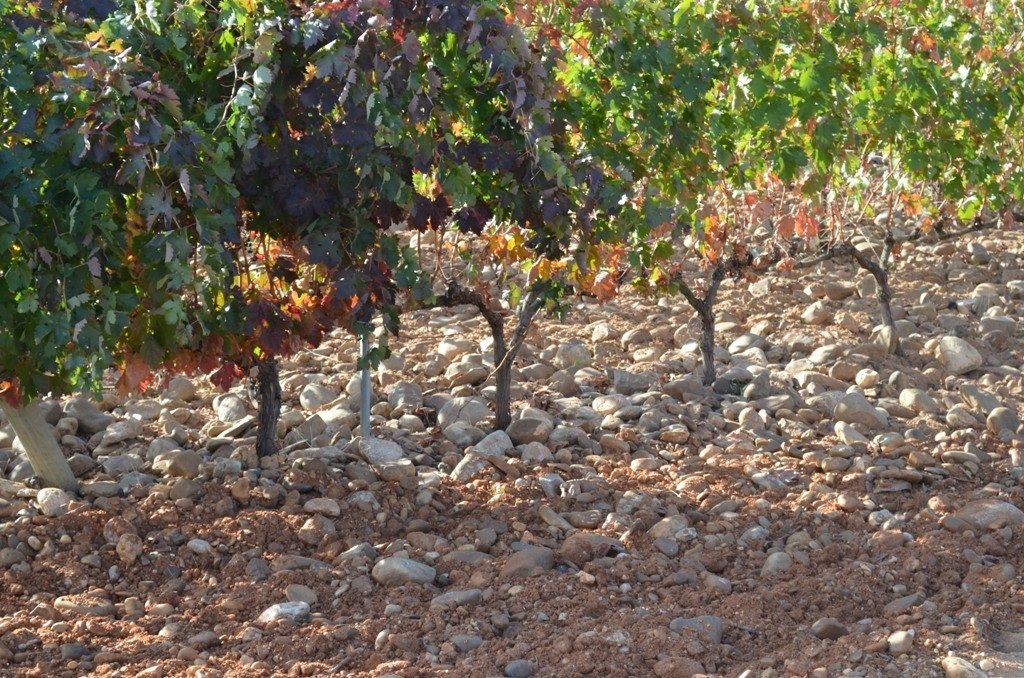 San Roman vines lie in vineyards like this covered in these polished round stones that help regulate heat and moisture.