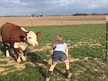 At the beginning of the clip, the child leans forward and urges the cow, named Bombshell, to 'come on'