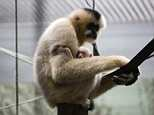 Families huddled in the zoo amid reports that a gibbon had escaped from its Leicestershire enclosure today