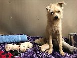 A stray terrier mix dog stole a slice of a pizza from two office workers eating lunch in Palo Alto and led them to her litter of one-week-old babies on April 17