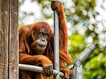 "Puan -- Indonesian for ""lady"" -- died on Monday at Perth Zoo, where she had lived since being gifted by Malaysia in 1968"