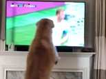 Golden retriever Scooby Doo was watching the England v Panama match yesterday intently until it came to Harry Kane's second penalty