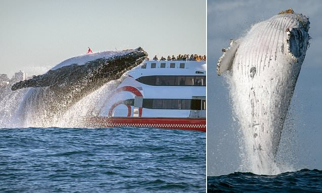 Lucky photographer catches the incredible moment a 20-tonne humpback leaps out of the