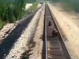 A mother bear was run over by a train while saving her two cubs from an approaching train
