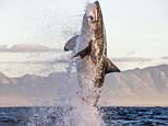 Dramatic pictures capture the incredible moment a great white shark leaped vertically out of the water and clamped its terrifying jaws around a seal