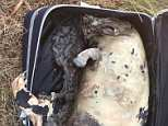 A dead porpoise was found decomposing in a suitcase on the Kent coast yesterday