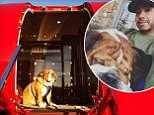 Lewis Hamilton's bulldog Roscoe does modelling