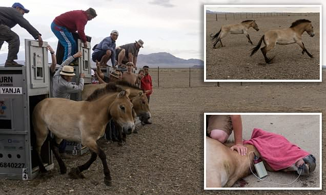 Zoo-bred Przewalski's horses are freed into the plains of Mongolia