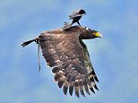Stunning photographs have captured the moment a black drongo bird hitched a lift on the back of an eagle in Taipei, Taiwan