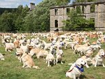 Golden Retrievers of all shapes, colours and sizes arrived at Guisachan House in Tomich, Inverness-shire for the annual event