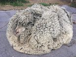 A sheep (pictured) has been found by New South Wales farmers with more than 30kgs of wool