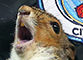 Groundsman catches squirrel on the loose at City
