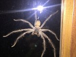 The palm-sized huntsman spider gave a homeowner from Sydney's inner west an almighty fright when it thudded against his lounge window