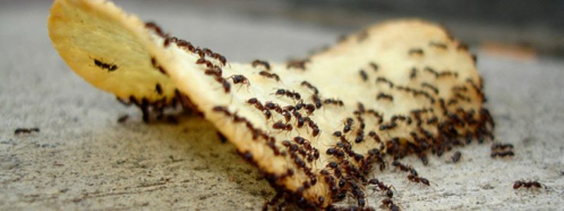 how to get rid of ants cover