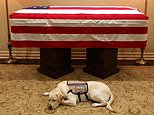 George H.W. Bush's service dog Sully (pictured with his casket on Sunday) will accompany his casket aboard the presidential plane to Washington