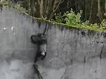 Clever chimpanzees used a branch to escape at Belfast Zoo on Saturday after stormy weather weakened their enclosure