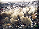 Invasion: A polar bear prowls inside a building, one of more than 50 of the endangered animals who have been terrorising residents in a remote Arctic archipelago in Russia