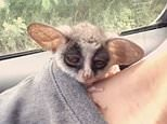 The two-month-old bush baby named Yoda decided to take a nap in his owner's t-shirt while driving through Bangkok