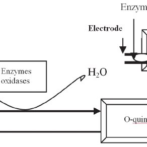A typical amperometric sensor for the assay of phenols and sugars: The enzyme is immobilized at the top of electrode, the current between electrodes gives information about the analyte. In a...