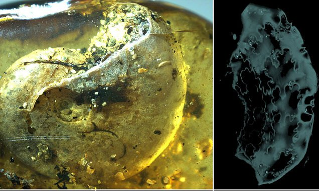 First ever fossil of an ammonite trapped in amber is found in northern Myanmar