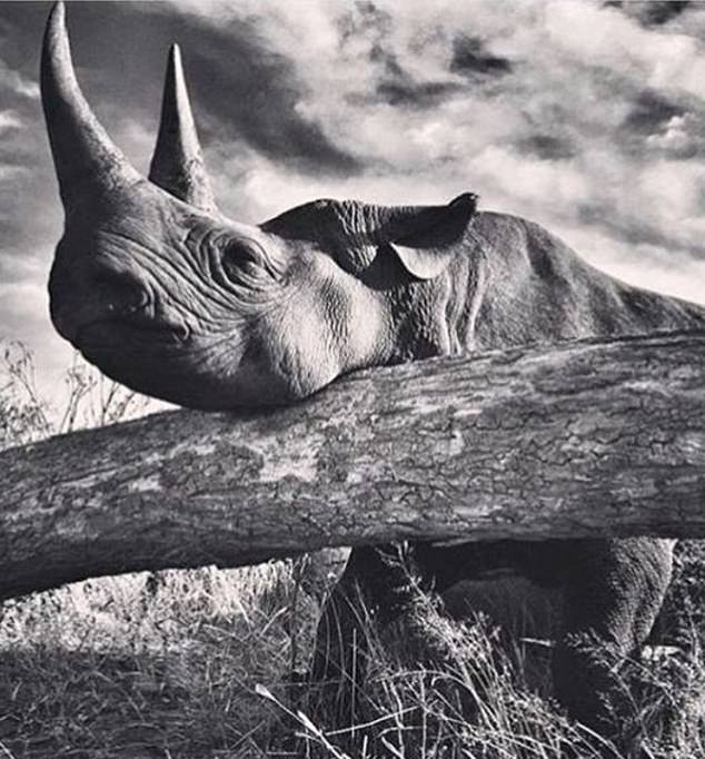 A black and white shot of a rhino bags the Sussexes more than 700,000 likes and the account hits 4.9million followers