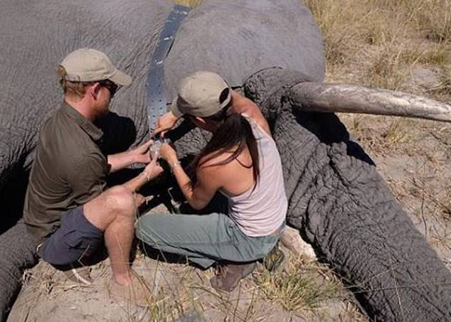Then comes the Insta-game winning shot: a previously unseen photograph of Meghan and Harry attaching a tracking collar to an elephant in Botswana