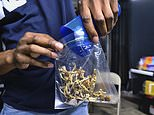In this Friday, May 24, 2019 photo a vendor bags psilocybin mushrooms at a cannabis marketplace in Los Angeles. Oakland City Council will vote Tuesday, June 4, 2019, to decriminalize the possession and use of entheogenic, or psychoactive, plants and fungi. (AP Photo/Richard Vogel)
