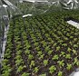 Growing business: Police discovered hundreds of cannabis plants in a 'nursery' in the attic