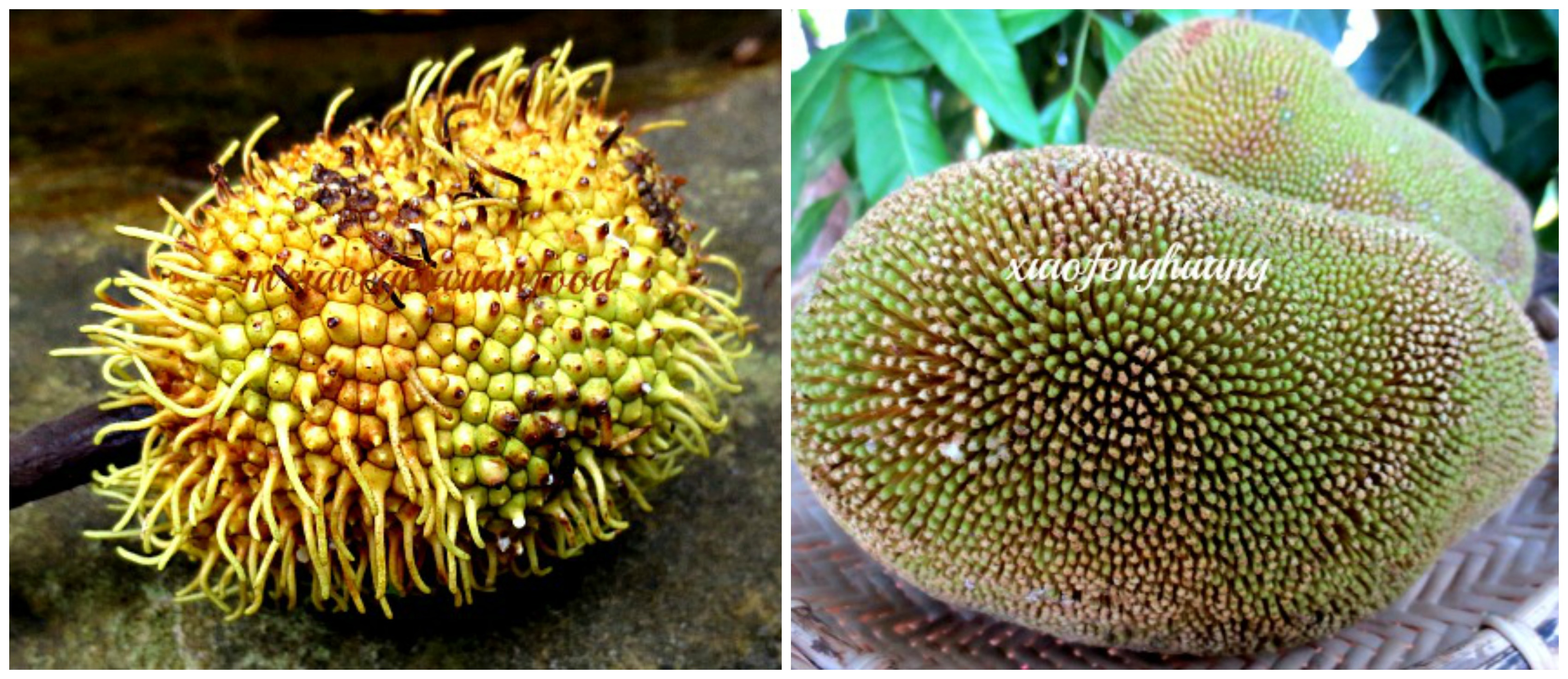 Left - tekalong(Artocarpus elassticus) Right - Wild terap,ancestor of terap