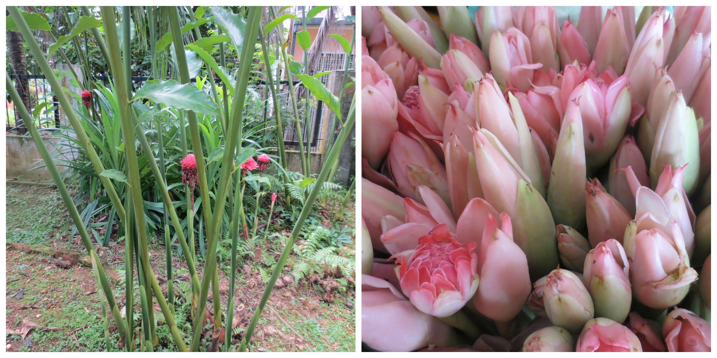 Left-Bunga kantan plants growing in my old neighbour's garden Right - Pink bunga kantan for sale at the market
