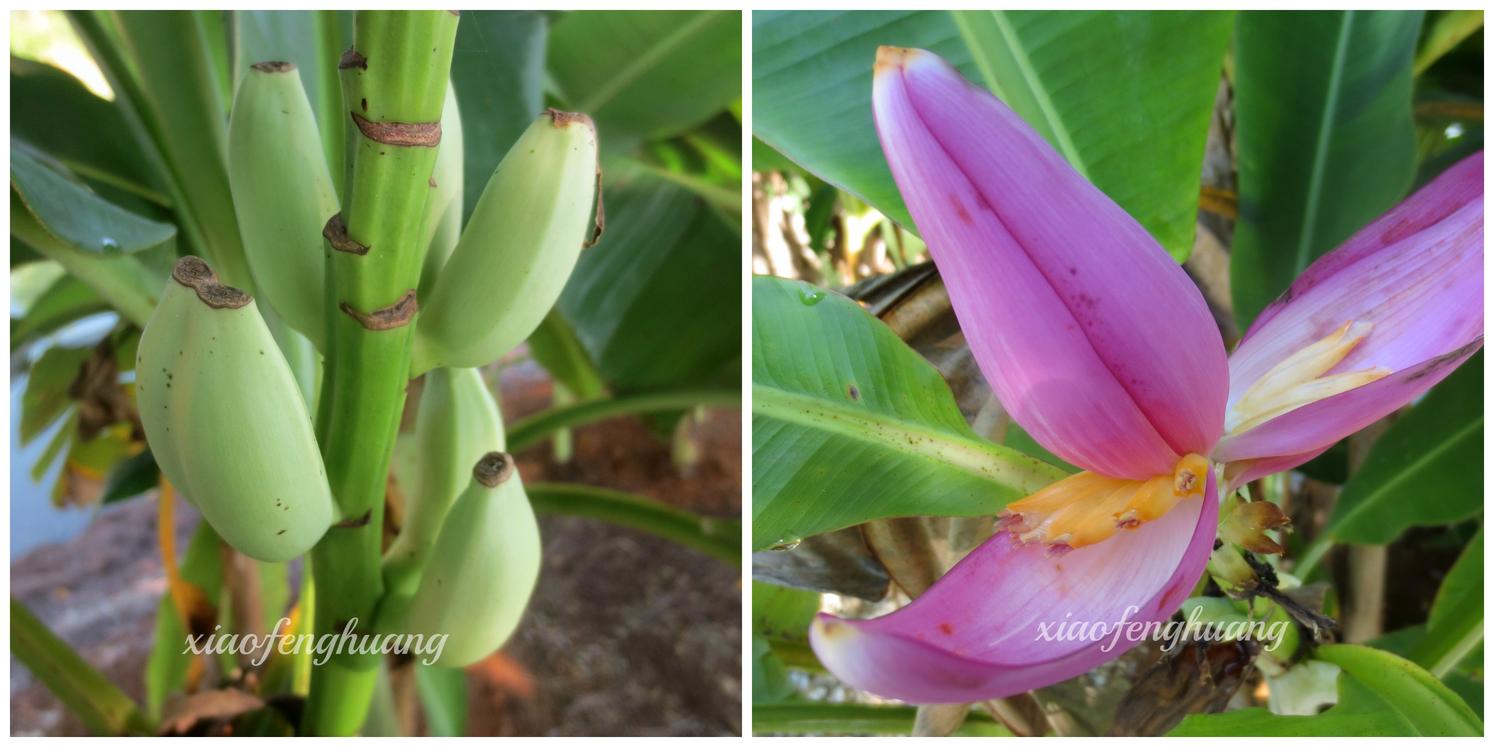 Left - Pisang Bunga/Musa Ornata Right - Flower of Pisang Bunga