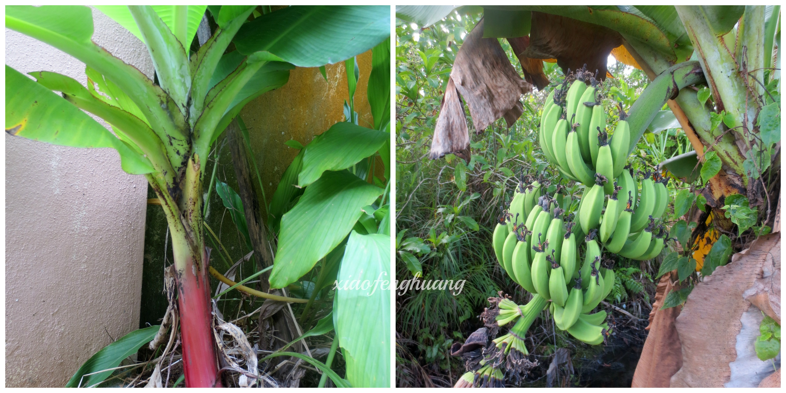 Left - Pisang Serendah/Kapal (Dwarf Banana) Right - Fruits of Pisang Serendah