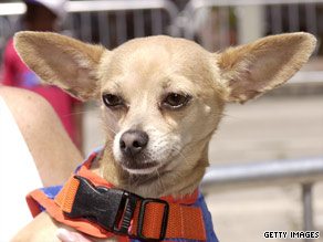 "Uttering the words ""Yo Quiero Taco Bell,"" Gidget's popularity soared in the fast food restaurant's ads."