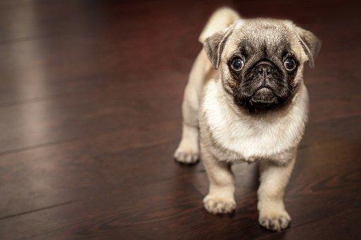Pug, Puppy, Dog, Animal, Cute, Puppy