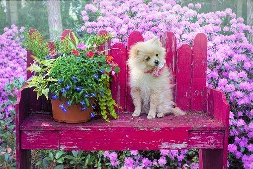Dog, Puppy, Pomeranian, Animal, Pet