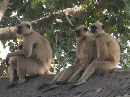hanuman monkeys: