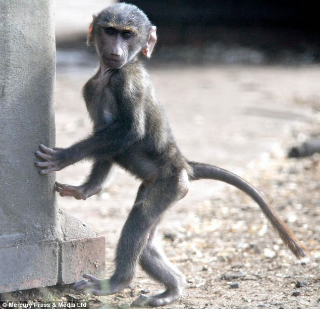 This baby baboon could grow to more than two feet and weigh just under eight stone