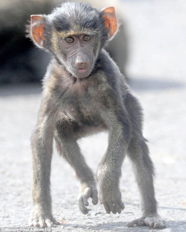 Baboons are known for their social and mischievous behaviour