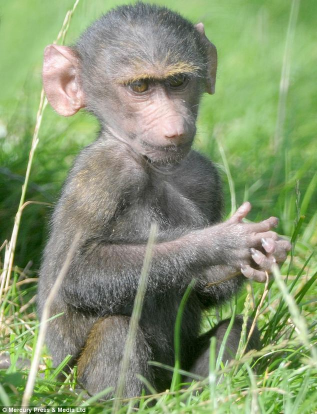 Olive baboons are so-called because their fur is a grey-green colour from a distance