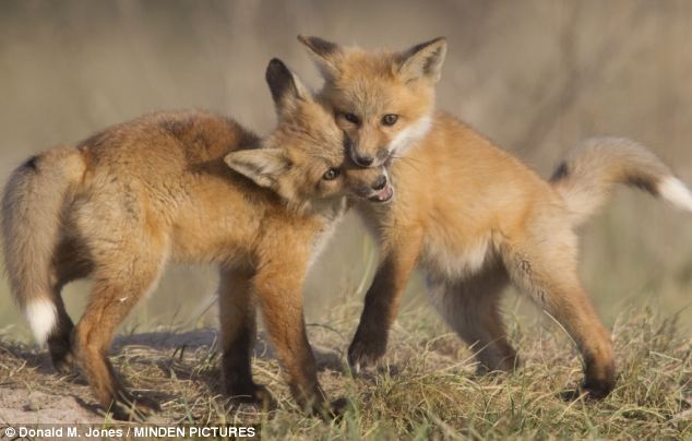 One of the little cubs, thought to be around eight weeks old, managed to sink his sharp teeth into the other's muzzle