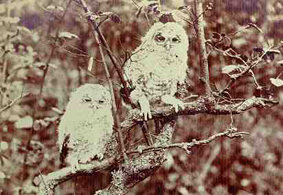 Tawny Owls in Grass Wood
