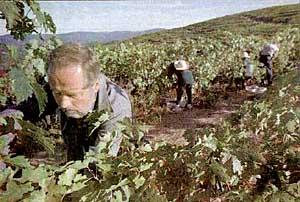 Norbert Dugas snips grapes