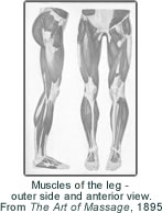 Muscles of the leg - outer side and anterior view